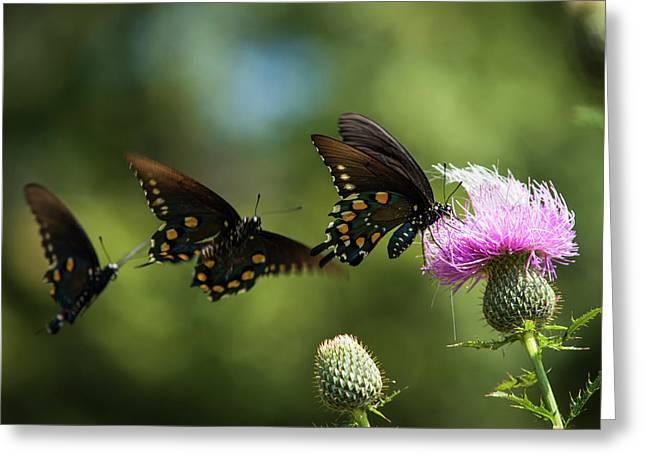 Black Swallowtail Butterflies  Papilio Greeting Card by Robert L. Potts