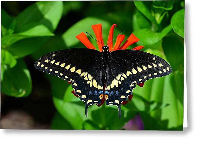 Black Swallowtail Butterfly Greeting Card by Kathy Eickenberg
