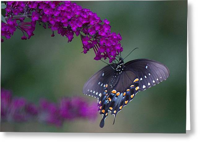 Black Swallowtail Greeting Card