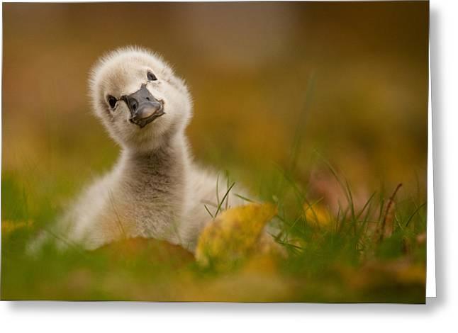Black Swan Baby Greeting Card