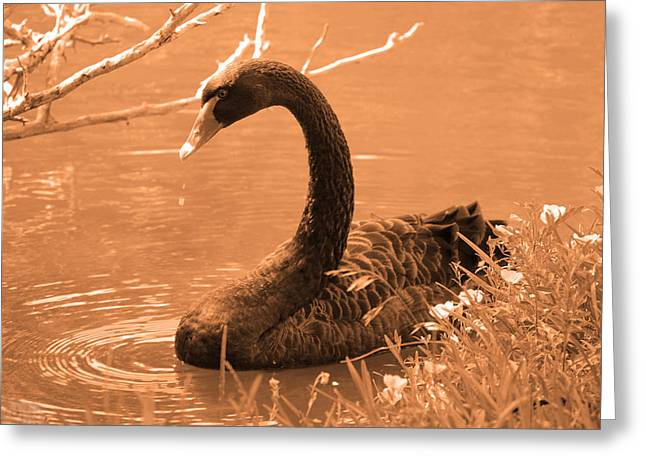 Greeting Card featuring the photograph Black Swan by Leticia Latocki