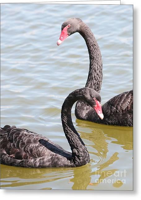Black Swan Pair Greeting Card by Carol Groenen