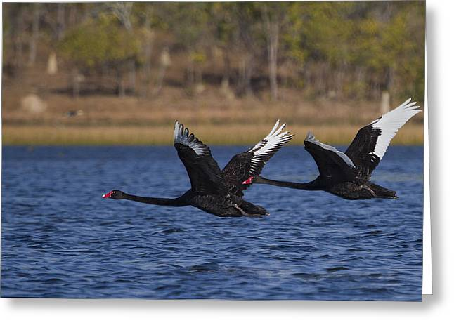 Black Swans In Flight Greeting Card by Mr Bennett Kent