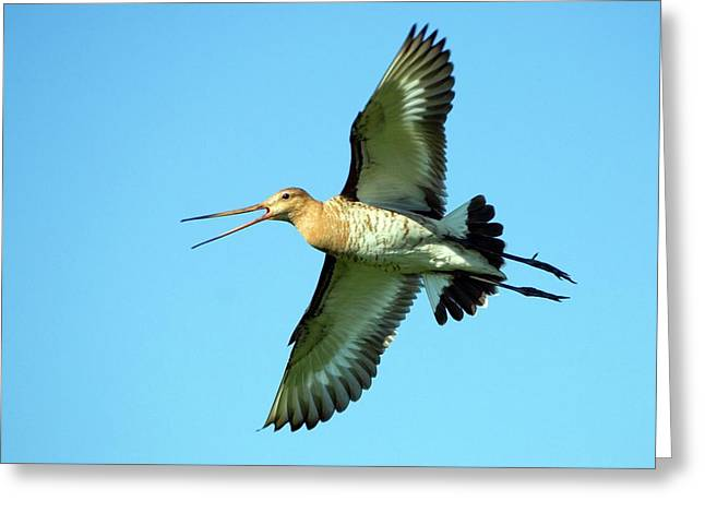 Black-tailed Godwit In Flight Greeting Card