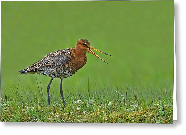 Black-tailed Godwit Greeting Card by Tony Beck