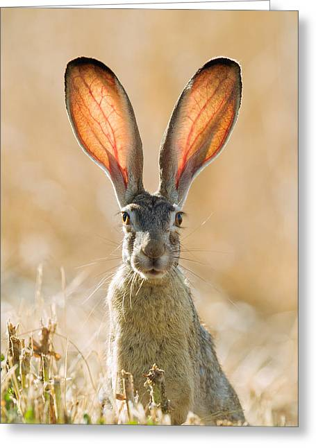 Black-tailed Hare Davis California Greeting Card