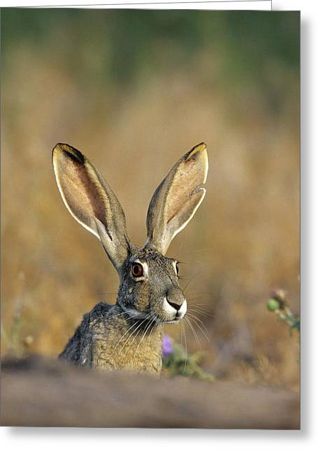 Black-tailed Jack Rabbit (lepus Greeting Card by Richard and Susan Day