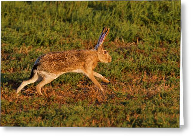 Black-tailed Jackrabbit (lepus Greeting Card by Larry Ditto
