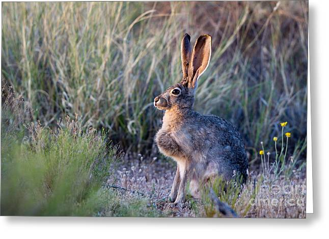Black-tailed Jackrabbit Greeting Card