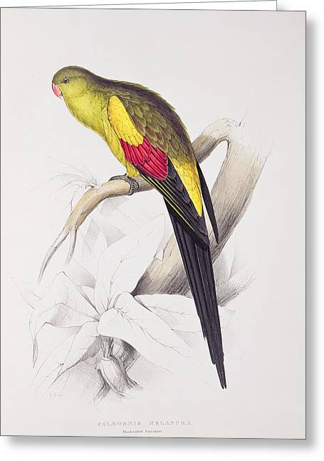Black Tailed Parakeet Greeting Card by Edward Lear