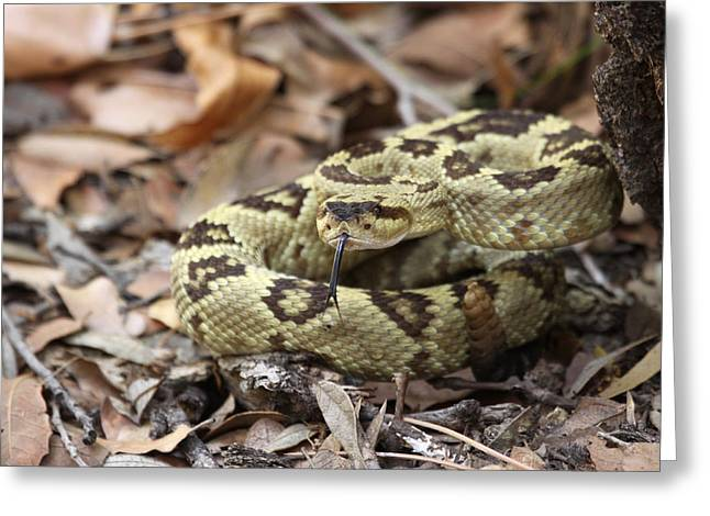Black-tailed Rattlesnake Greeting Card