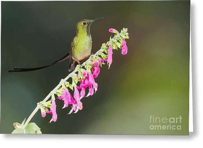 Black-tailed Train-bearer Hummingbird Greeting Card