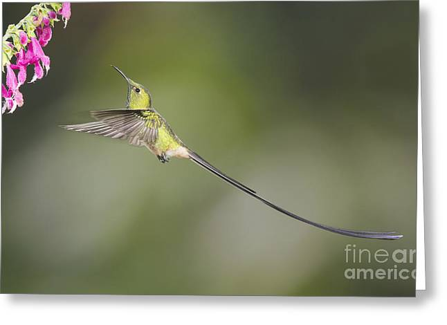 Black-tailed Trainbearer Hummingbird Greeting Card by Dan Suzio