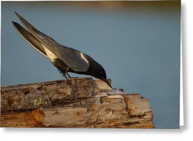 Black Tern Fishing Greeting Card