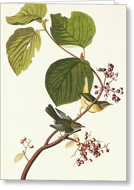 Black-throated Blue Warbler Greeting Card by Natural History Museum, London/science Photo Library
