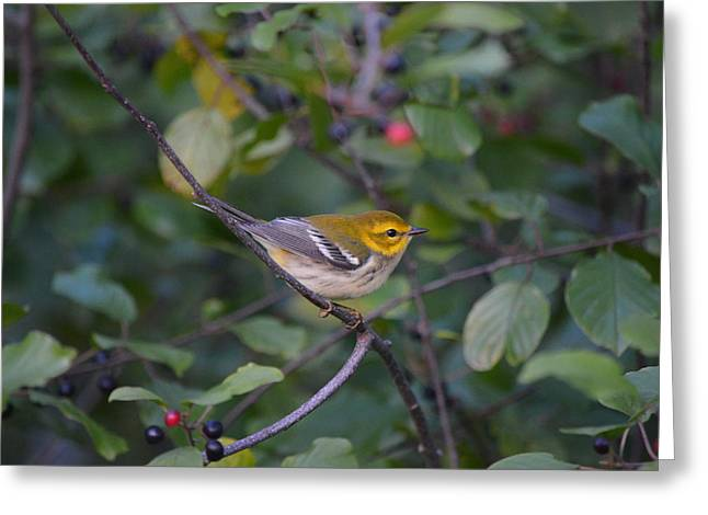 Greeting Card featuring the photograph Black-throated Green Warbler by James Petersen