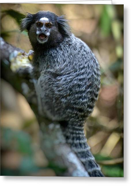 Black Tufted-ear Marmoset Greeting Card