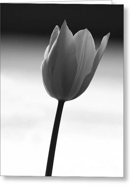 Black Tulip Greeting Card by Carlos Magalhaes