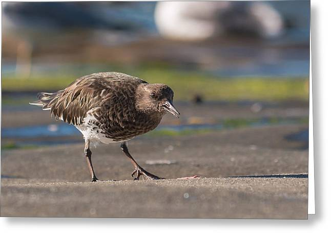 Black Turnstone Greeting Card