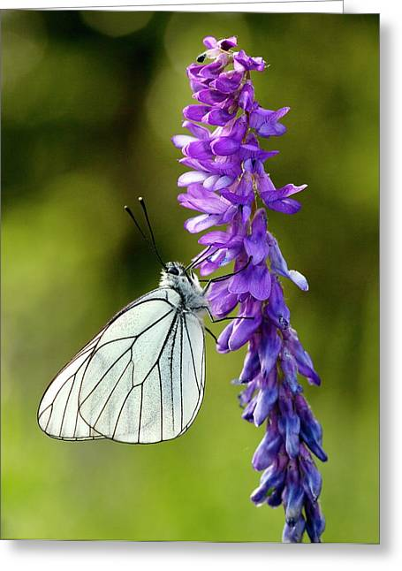 Black-veined White On Narrow-leaved Vetch Greeting Card by Bob Gibbons