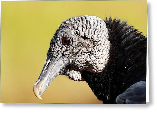 Black Vulture Portrait Greeting Card by Katherine White