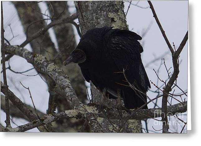 Black Vulture Greeting Card by Randy Bodkins