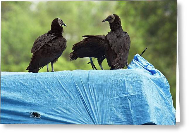 Black Vultures Greeting Card by Bob Gibbons