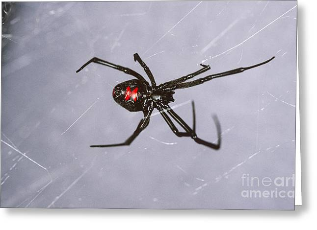 Black Widow Greeting Card by Scott Camazine