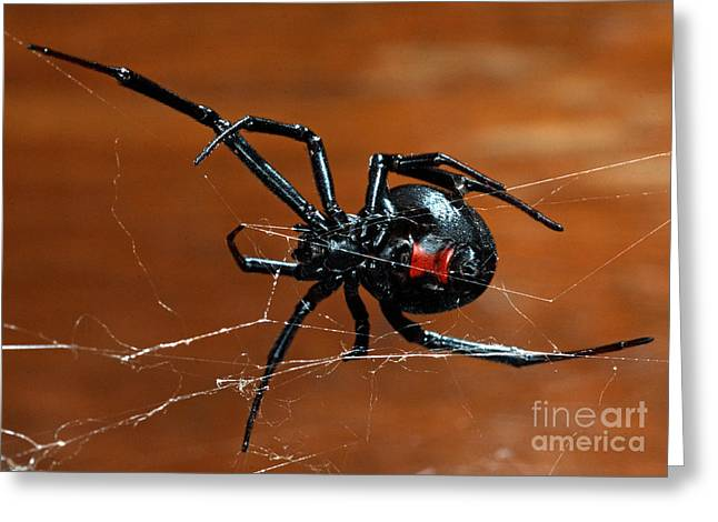 Black Widow Spider Greeting Card by Francesco Tomasinelli