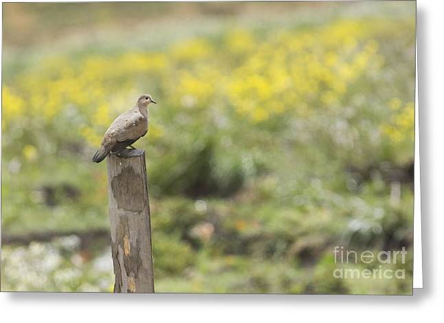 Black-winged Ground Dove Greeting Card