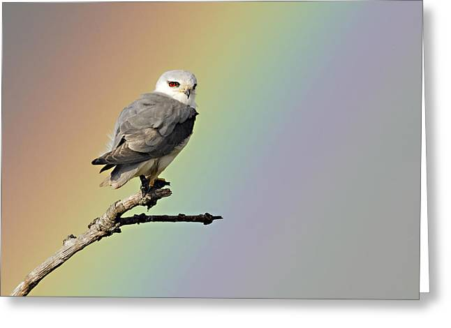 Black-winged Kite And Rainbow Greeting Card by Wim Werrelman
