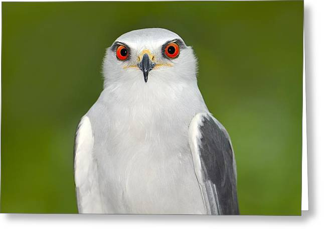 Black-winged Kite Greeting Card by Tony Beck