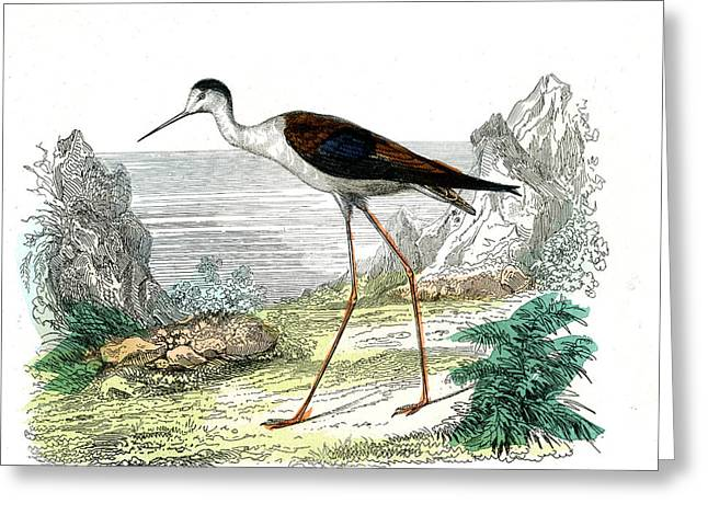 Black-winged Stilt Greeting Card by Collection Abecasis
