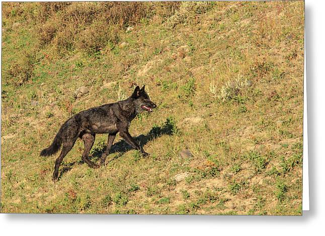 Black Wolf From Mollie's Pack In Lamar Greeting Card by Tom Norring