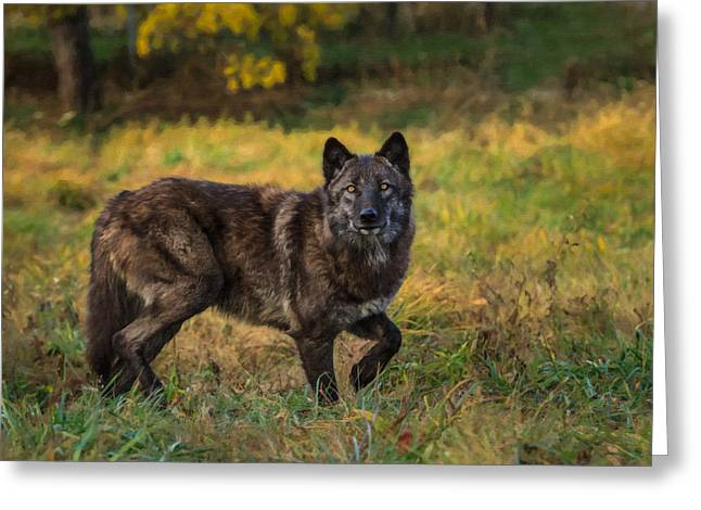 Black Wolf In Fall Colors Greeting Card