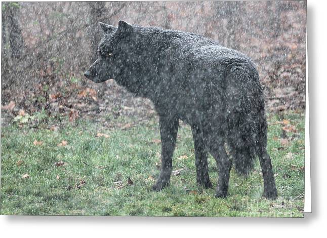 Black Wolf In Snowstorm Greeting Card
