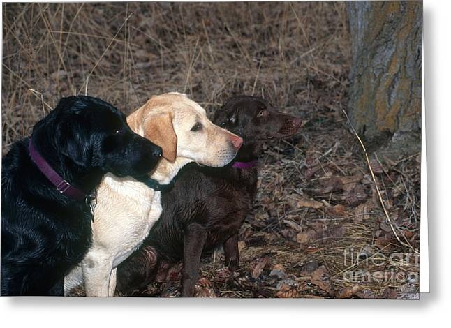 Black, Yellow And Chocolate Labs Greeting Card by William H. Mullins