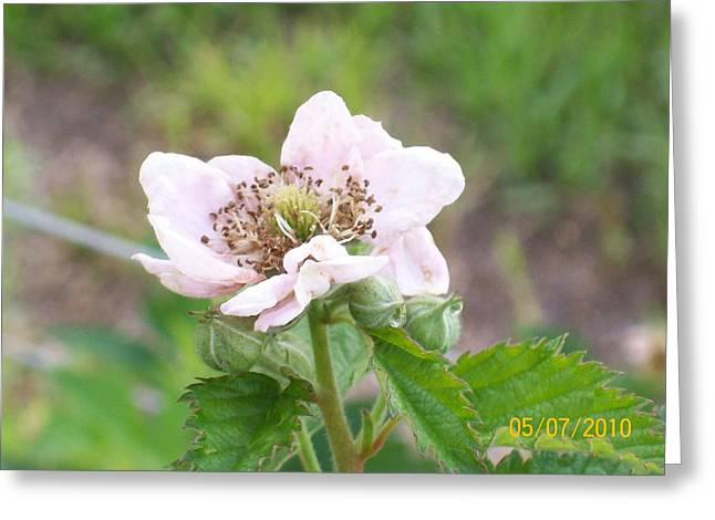 Greeting Card featuring the photograph Blackberry Blossom by Belinda Lee