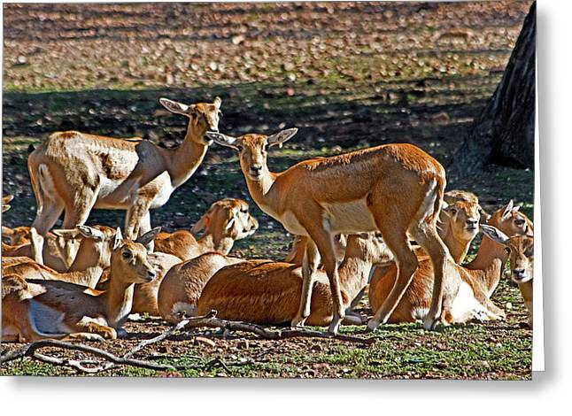 Blackbuck Female And Fawns Greeting Card