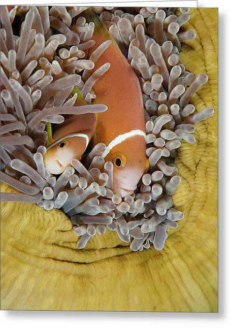 Blackfooted Anemonefish In The Maldives Greeting Card by Scubazoo