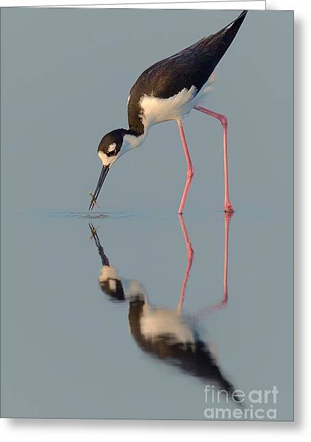 Blacknecked Stilt With Reflection Greeting Card by Jerry Fornarotto