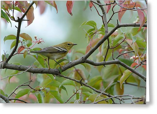 Blackpoll Warbler In The Fall Greeting Card