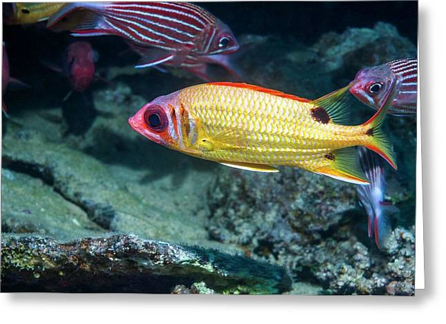 Blackspot Squirrelfish On A Reef Greeting Card by Georgette Douwma