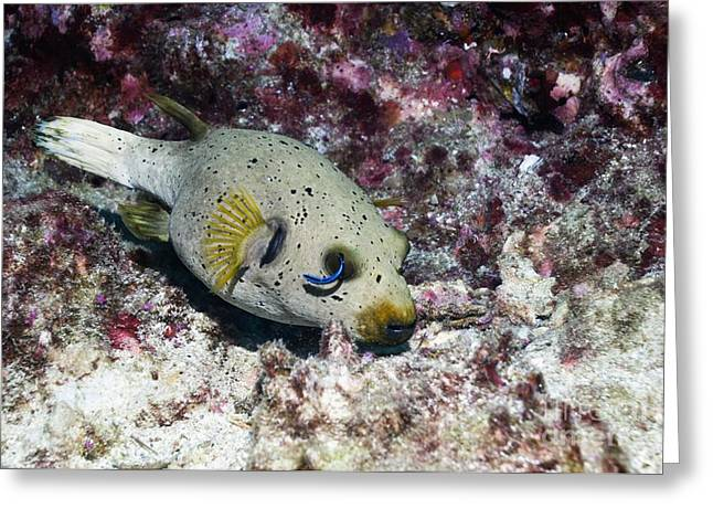 Blackspotted Puffer And Cleaner Wrasse Greeting Card by Georgette Douwma