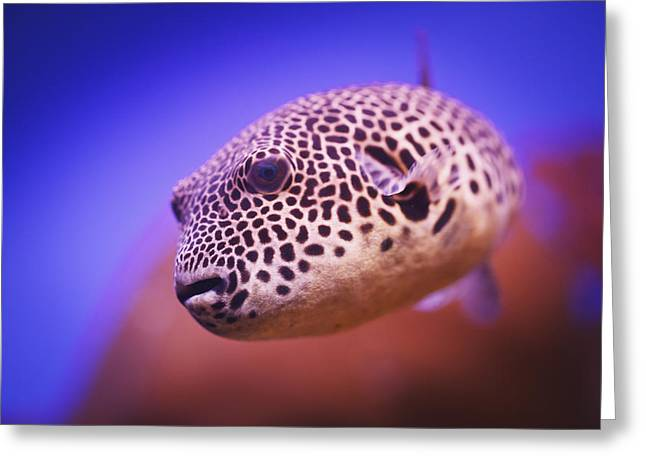 Blackspotted Puffer Arothron Greeting Card by Reynold Mainse