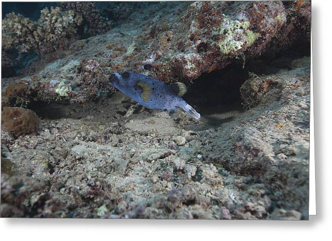 Blackspotted Puffer, Fiji Greeting Card by Terry Moore