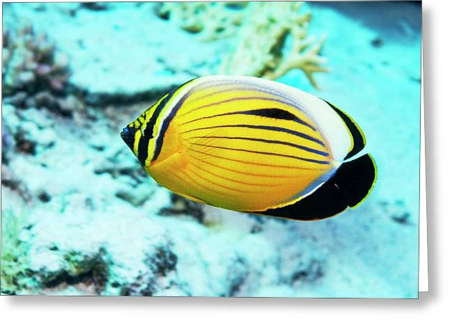 Blacktail Butterflyfish Greeting Card by Georgette Douwma