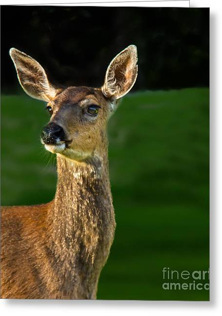 Blacktail Doe Greeting Card