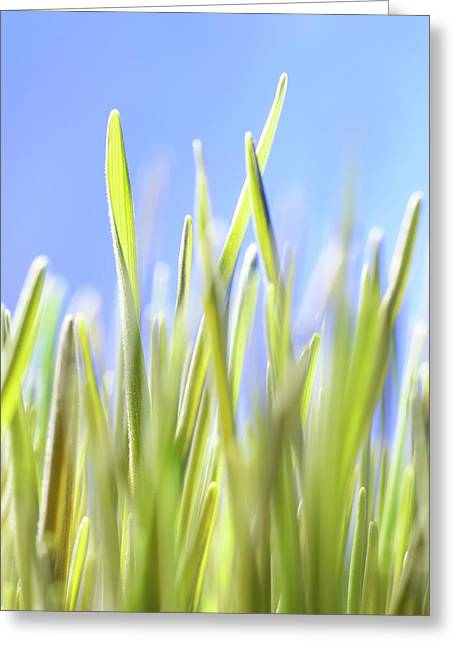 Blades Of Wheatgrass Greeting Card by Cordelia Molloy
