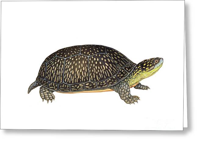 Blandings Turtle Greeting Card by Carlyn Iverson